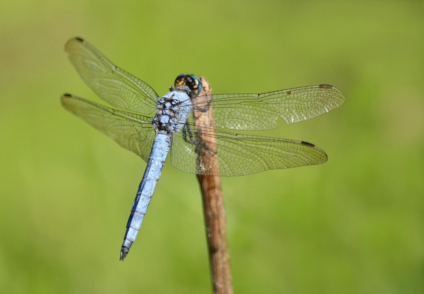 Дозорщик-император: фото и образа жизни стрекозы