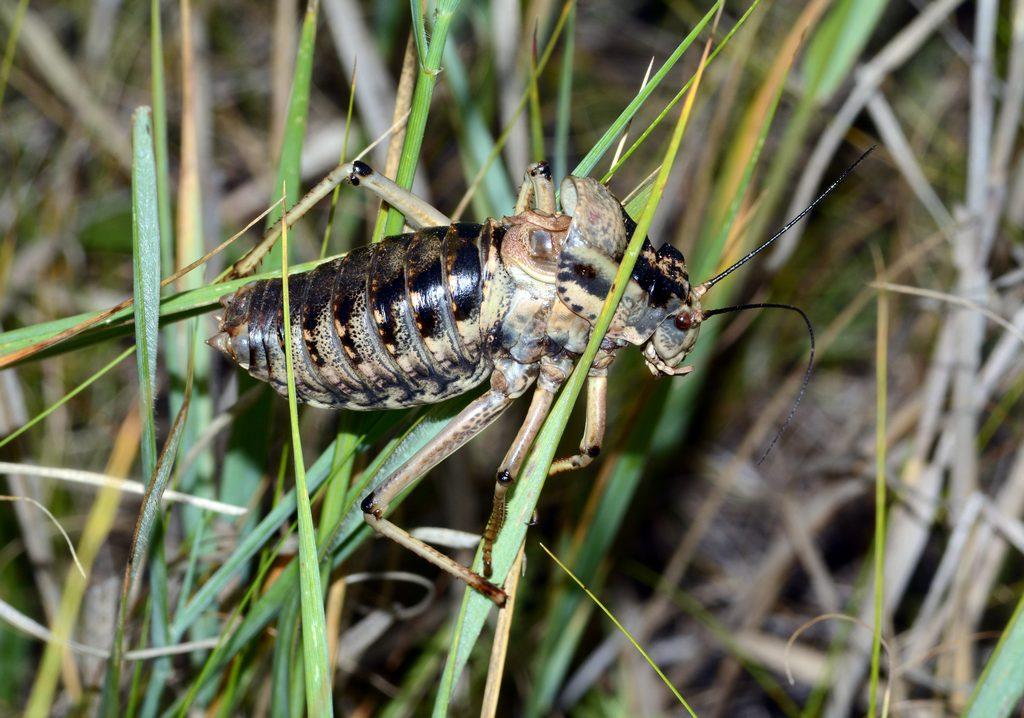 Толстун степной: фото и описание вымирающего вида кузнечиков