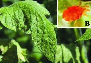 Какие признаки паутинного клеща на томатах?