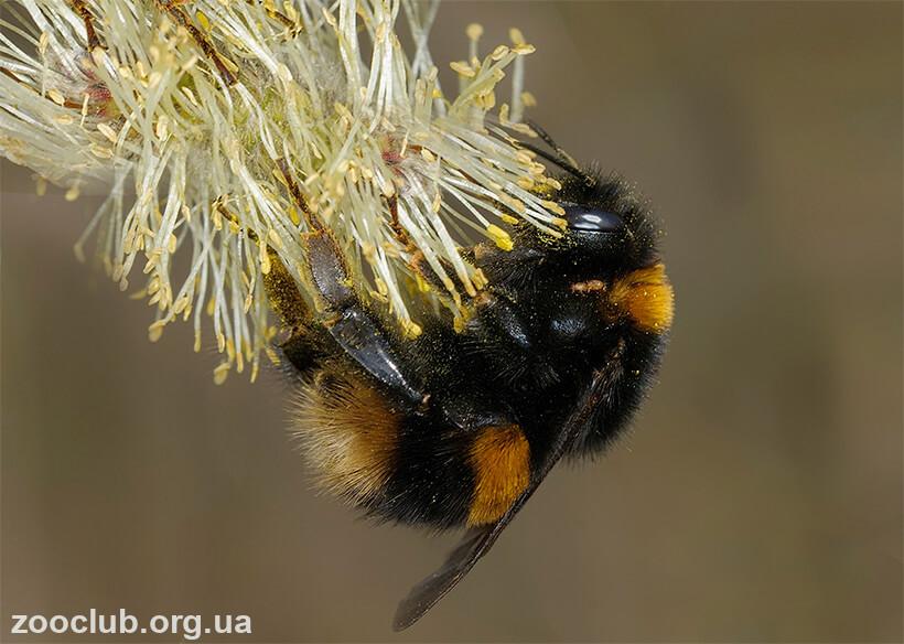 Шмель - ядовитые насекомые | описание, фото и видео