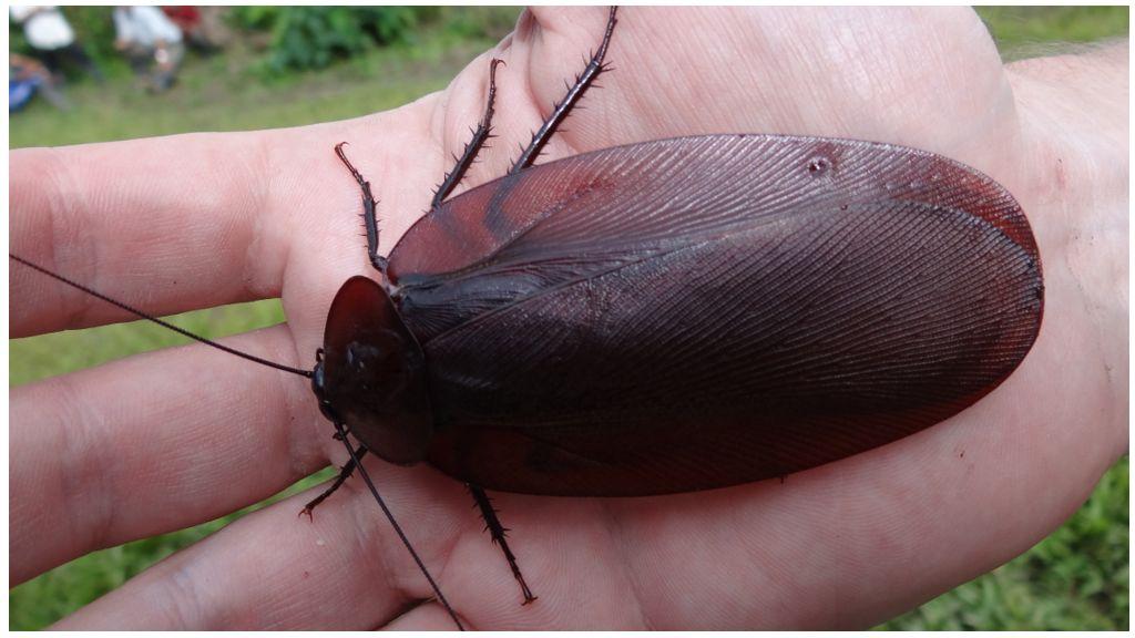 Летают ли домашние тараканы и где можно встретить летающих особей