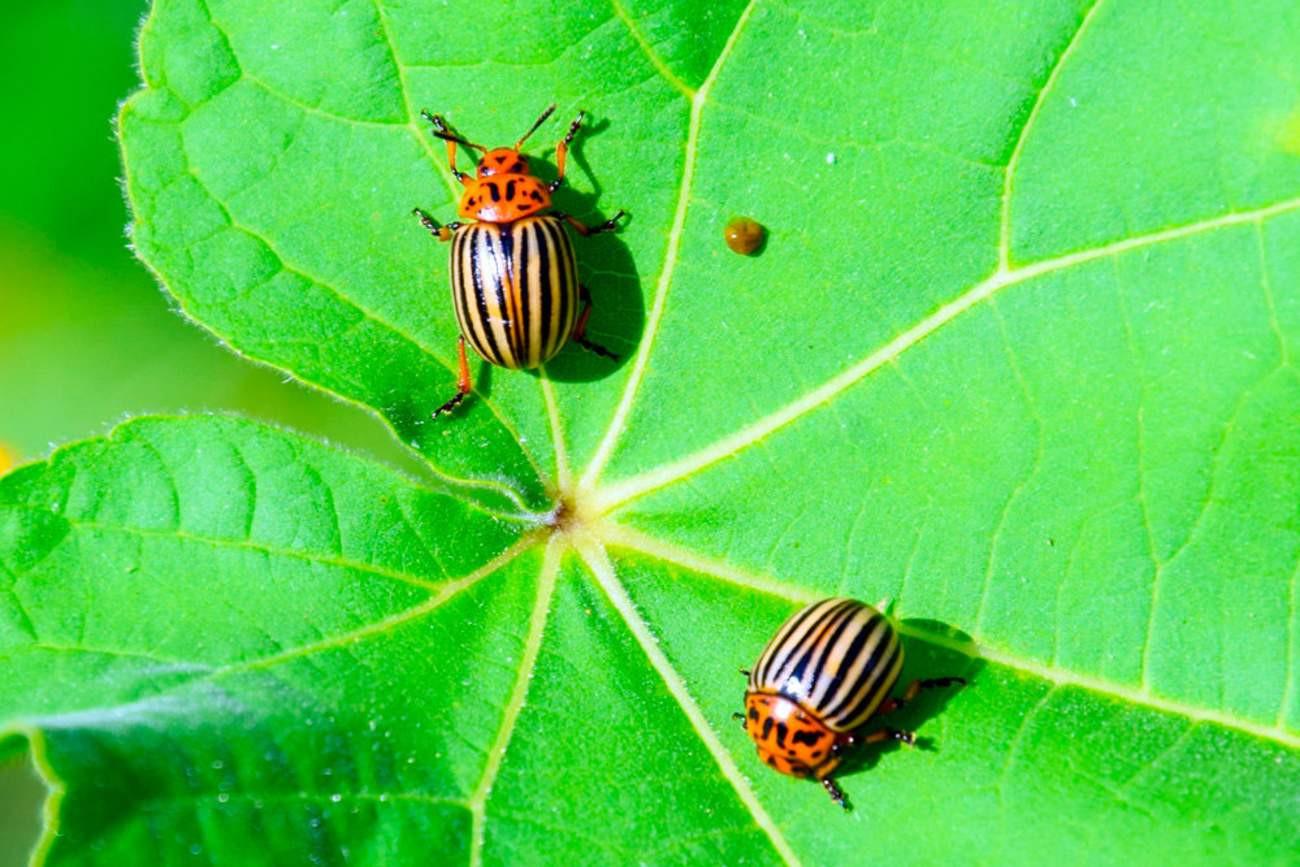 Кто ест колорадского жука: основные враги вредителя, видео и фото