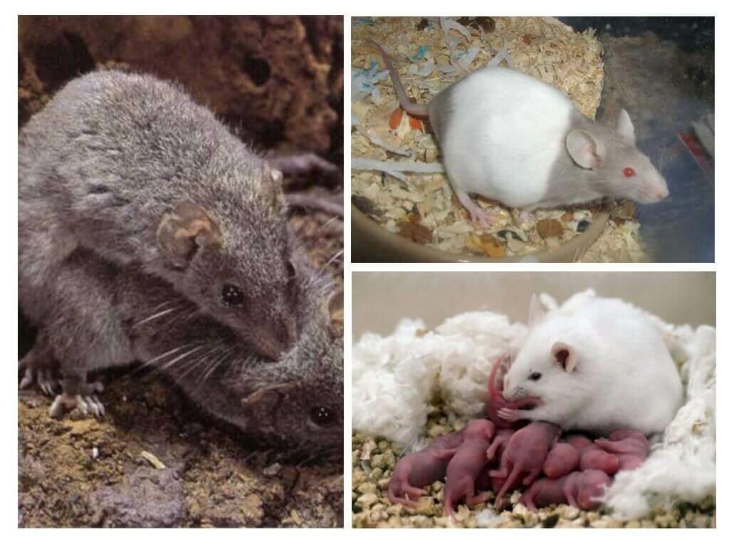 Размножение и роды мышей в домашних и естественных условиях