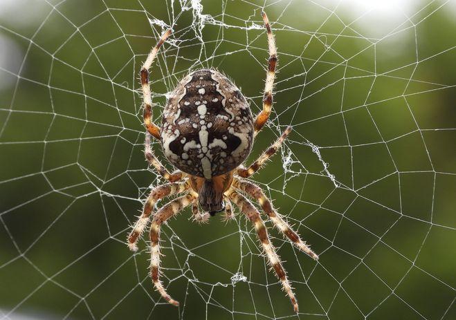 Паук крестовик – фото, описание, ареал, питание, размножение   golubevod.net