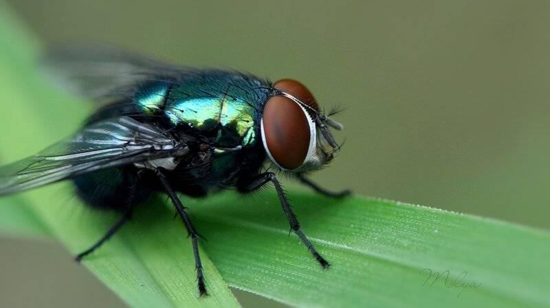 Описание и фото вольфартовой мухи