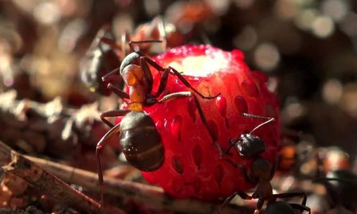 Как бороться с муравьями клубнике?