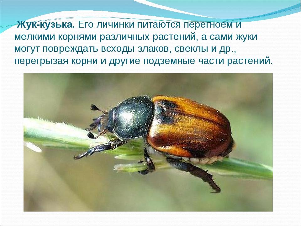 Вредитель жук кузька: лучшие методы борьбы