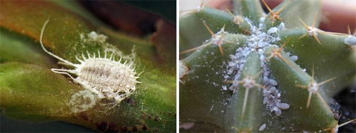 Вредители комнатных растений с фото и названиями: меры борьбы