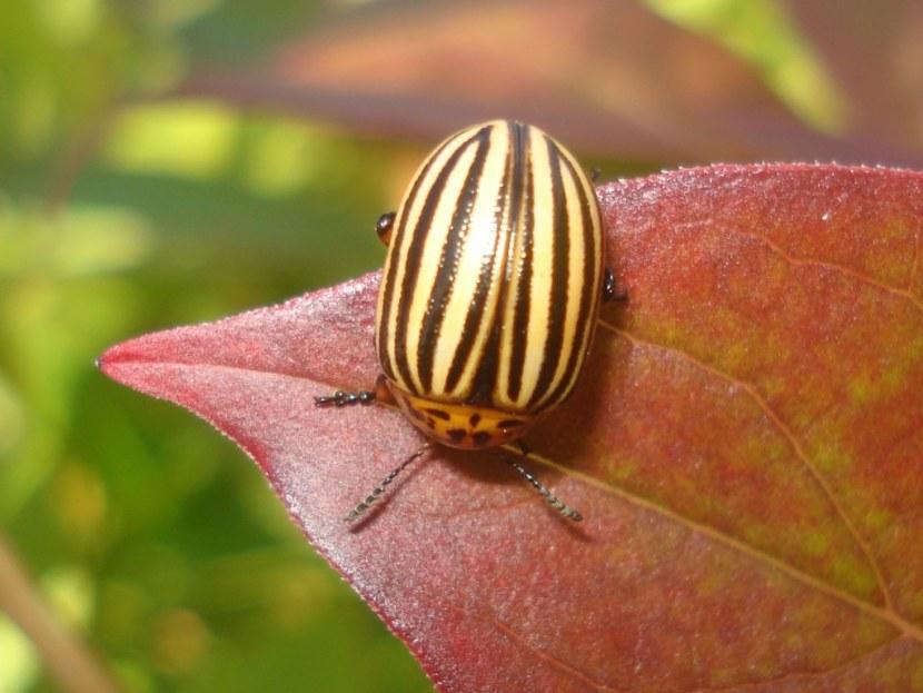 Все о колорадском жуке - как выглядит, что ест и откуда взялся