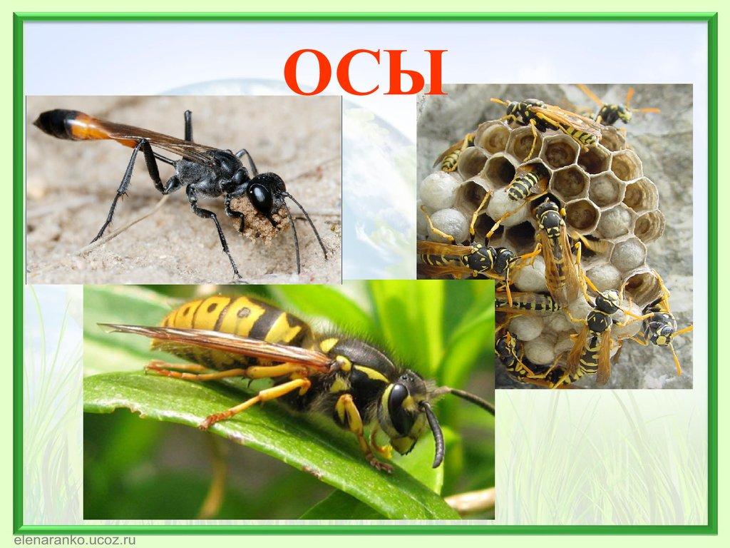Где зимуют осы, спят ли насекомые в холодный период года?