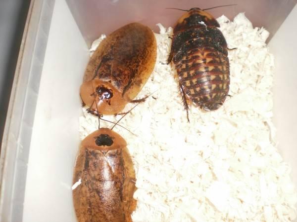 Домашние вредные и экзотические тараканы, виды, меры борьбы