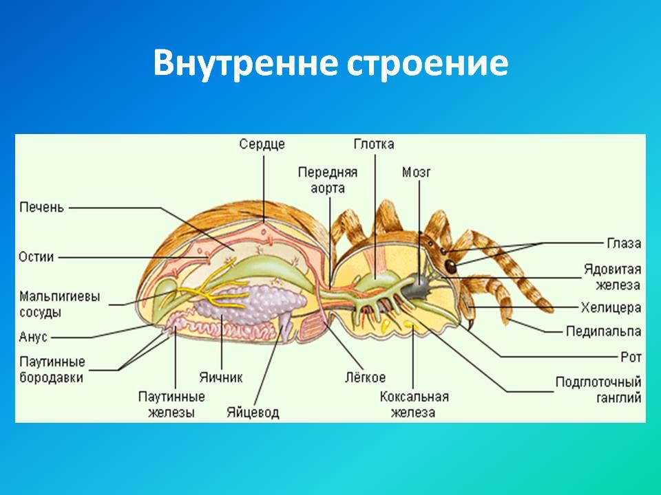Азы анатомии: скелет человека с названием всех костей