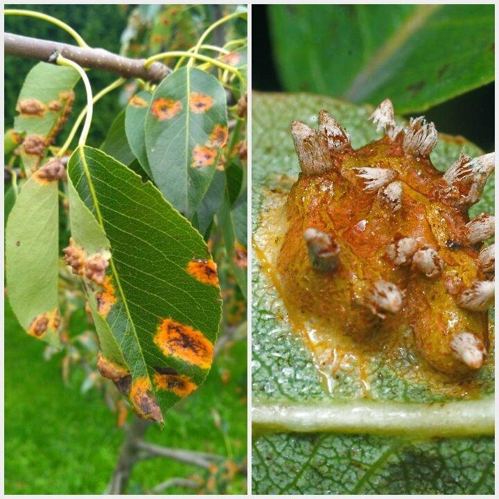Болезни и вредители яблони и груши