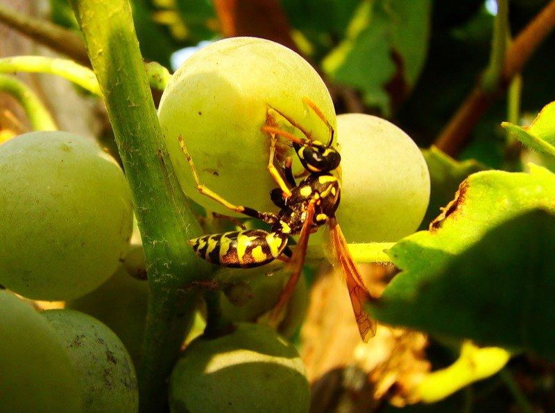 Эффективные методы, как избавиться от ос на малине и спасти ягоды от насекомых-«сладкоежек»