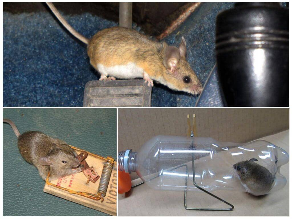 Борьба с крысами в частном доме: самые простые и эффективные методы