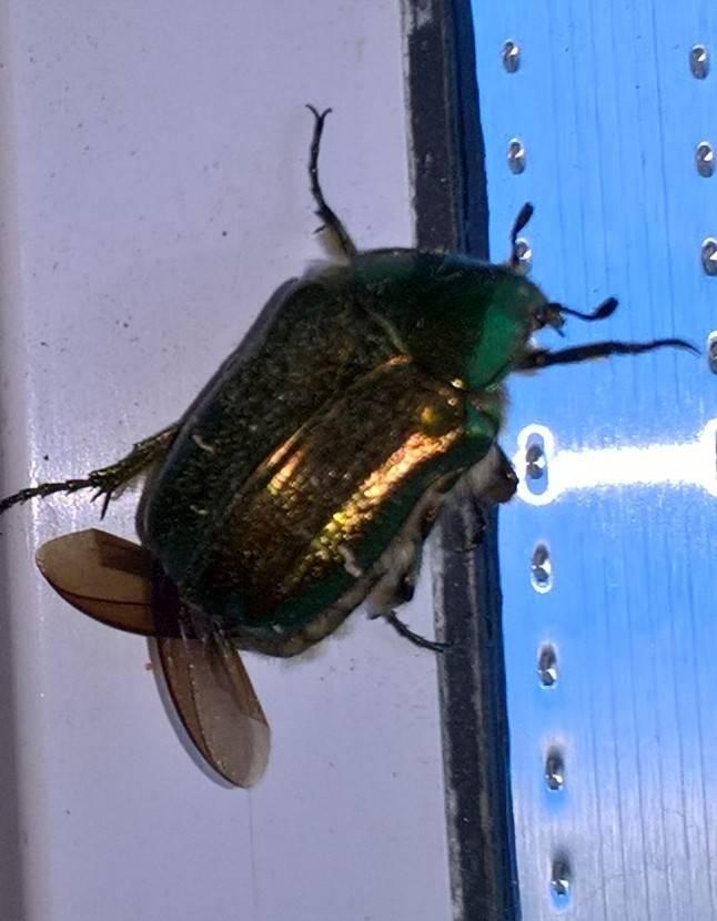 К чему снятся жуки (черные, колорадские, майские): сонник