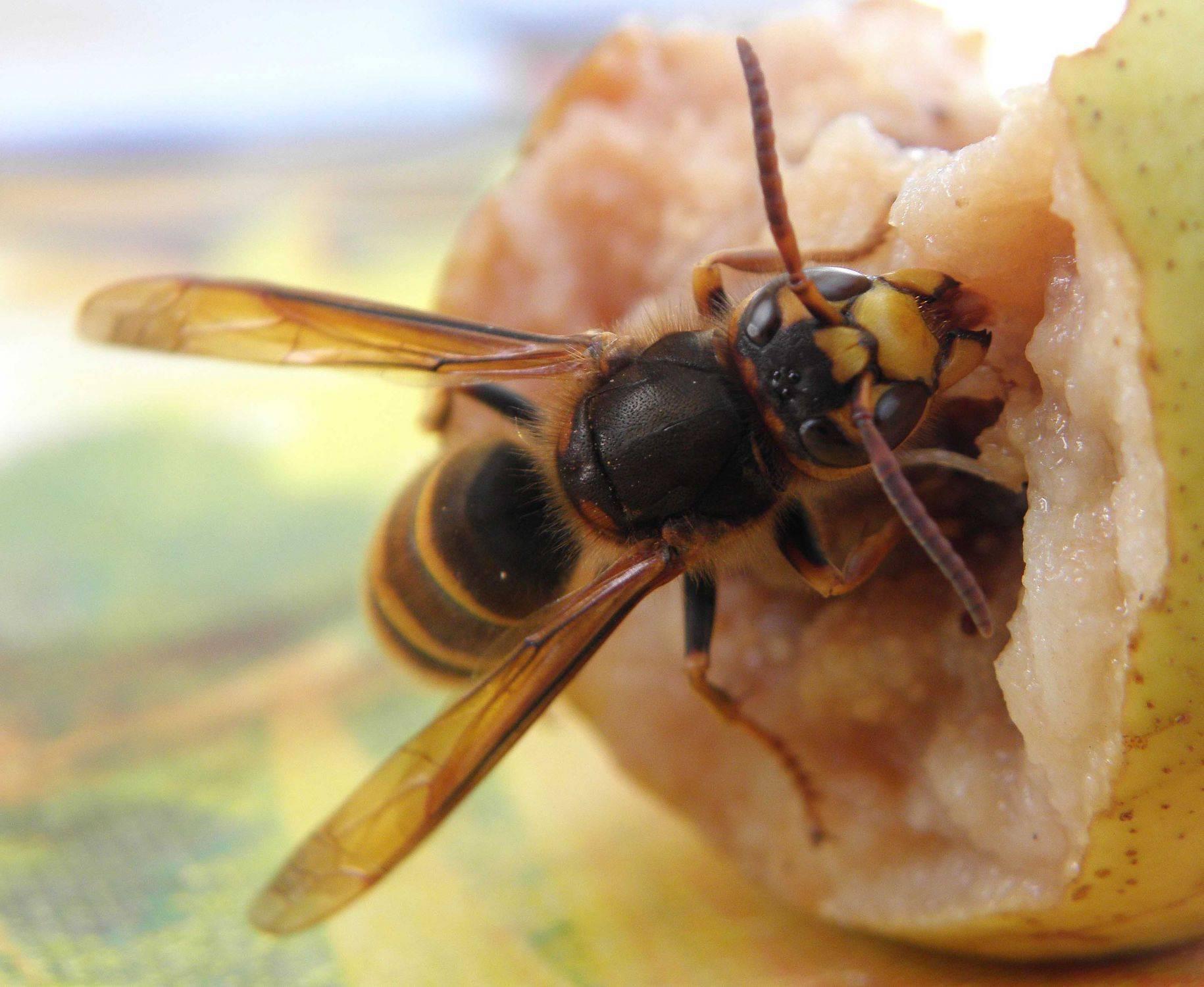 Шершень: описание, размножение, виды, фото, что ест, где живет