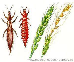 Вредители зерновых злаковых культур