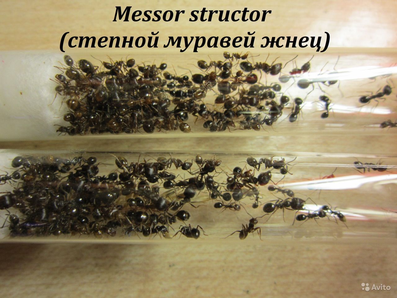 Муравьи-жнецы (messor structor): содержание и уход в домашних условиях