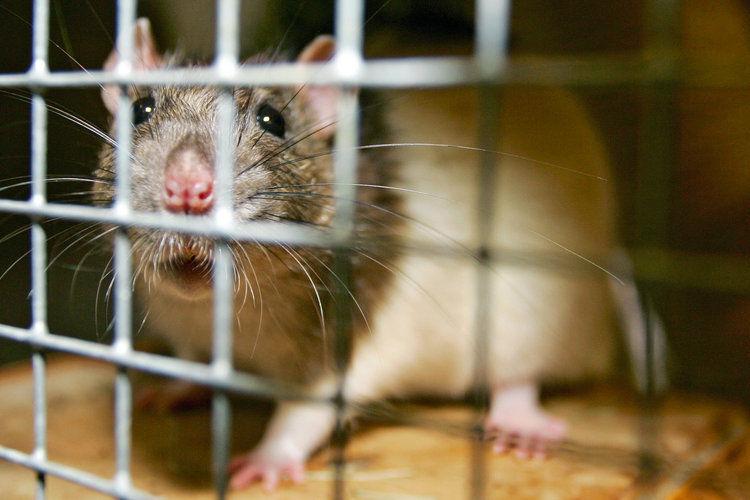 Зрение у крыс