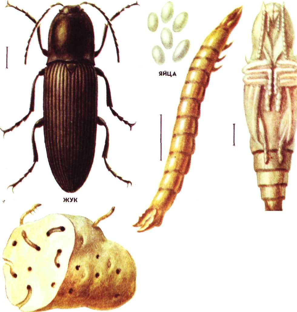 Опасный всеядный вредитель урожая жук — щелкун: фото паразита, агротехнические, химические и народные способы истребления