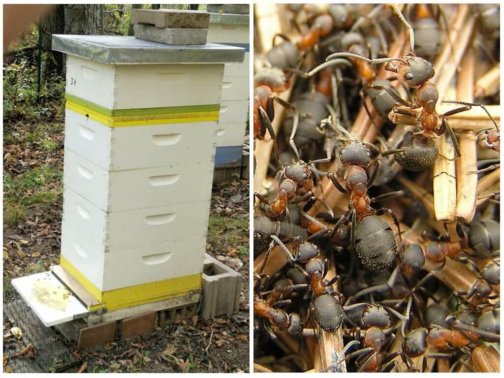 Как избавится от муравьев в улье на пасеке