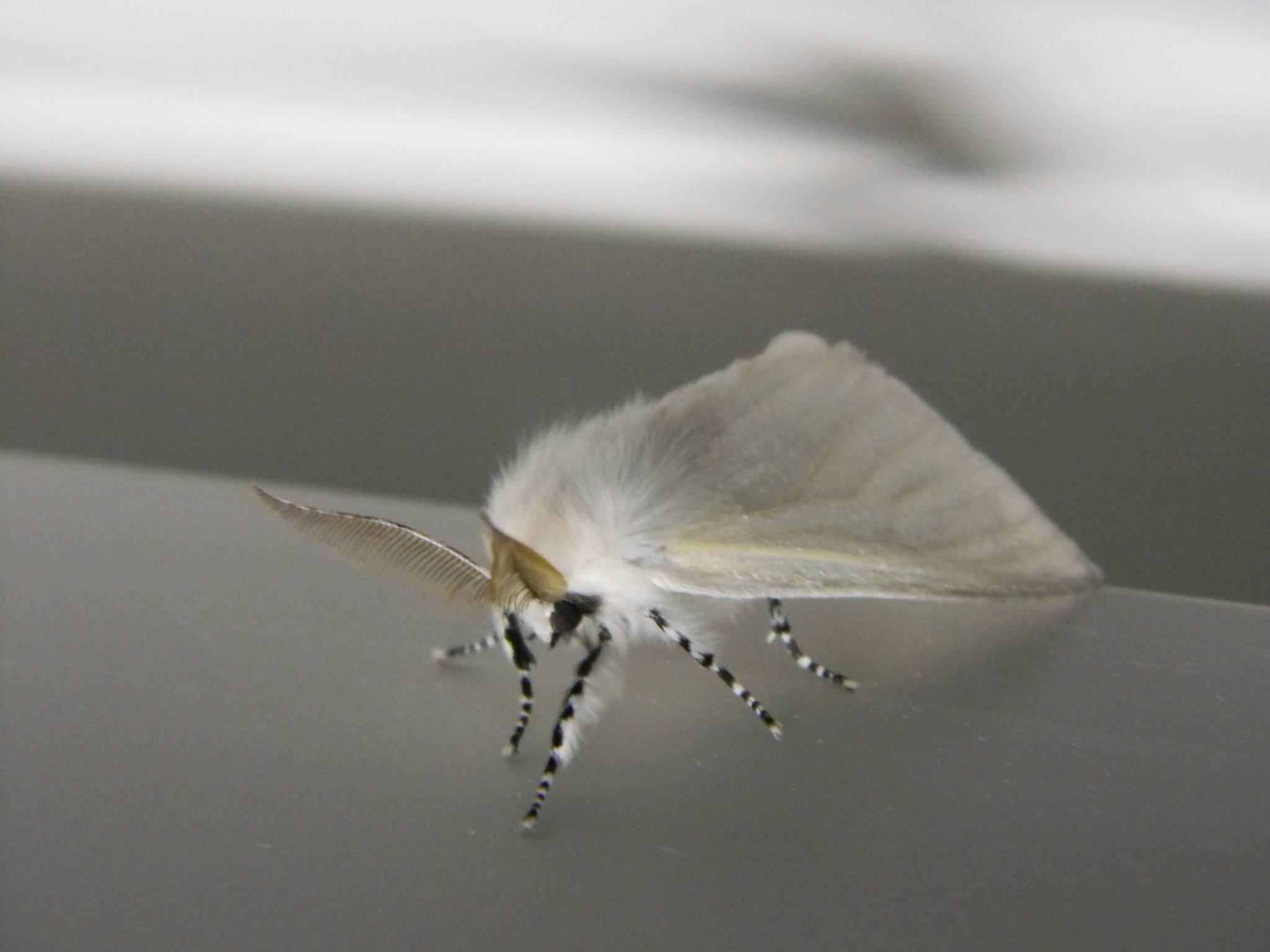 Какой вред приносит американская бабочка - дневник садовода parnikisemena.ru