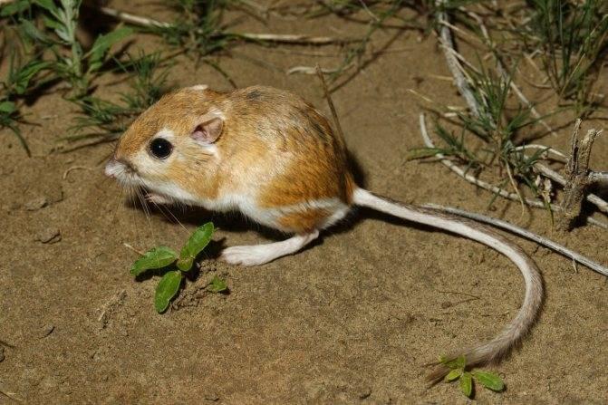Где живут мыши. особенности размножения и родов мышей спаривание полевых мышей