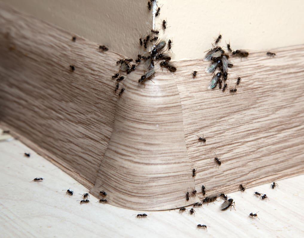 Как избавиться от муравьев в бане: химические средства и народные рецепты