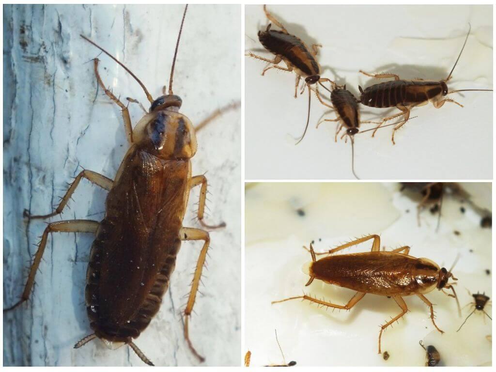 Как выглядят домашние тараканы