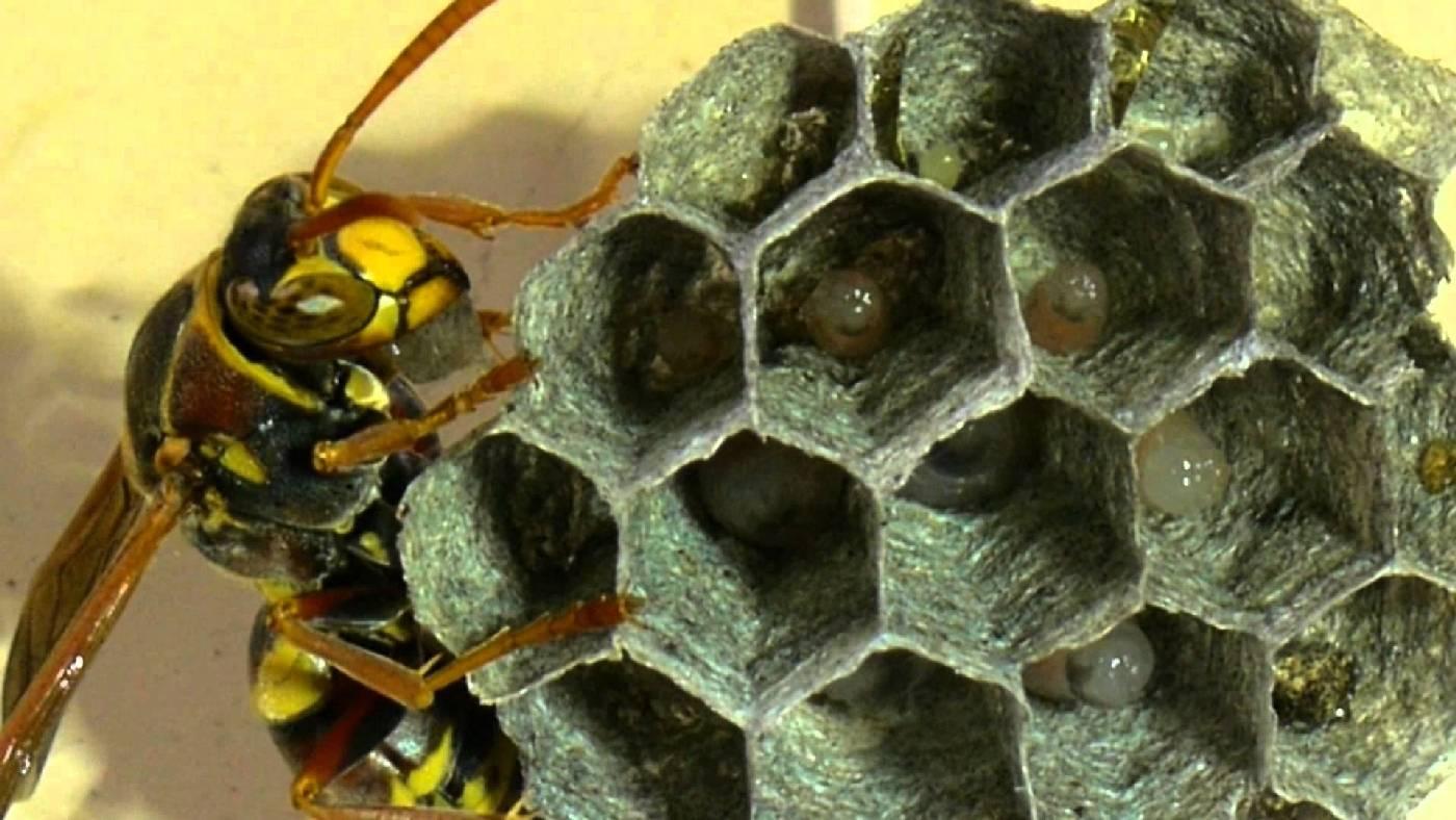 Дают ли осы мед