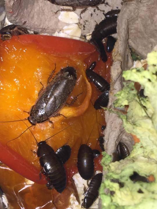 Мраморные тараканы: фото, описание, содержание и разведение