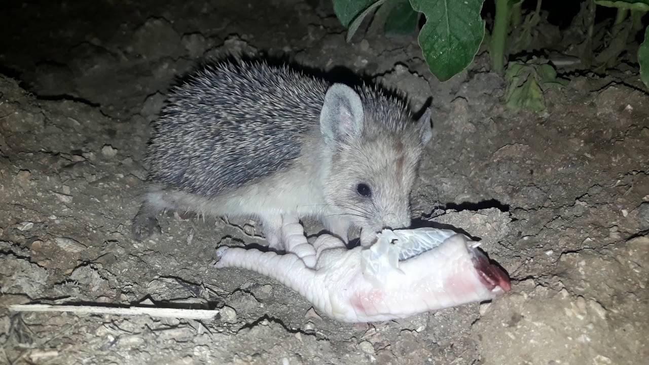 Едят ли ежи мышей
