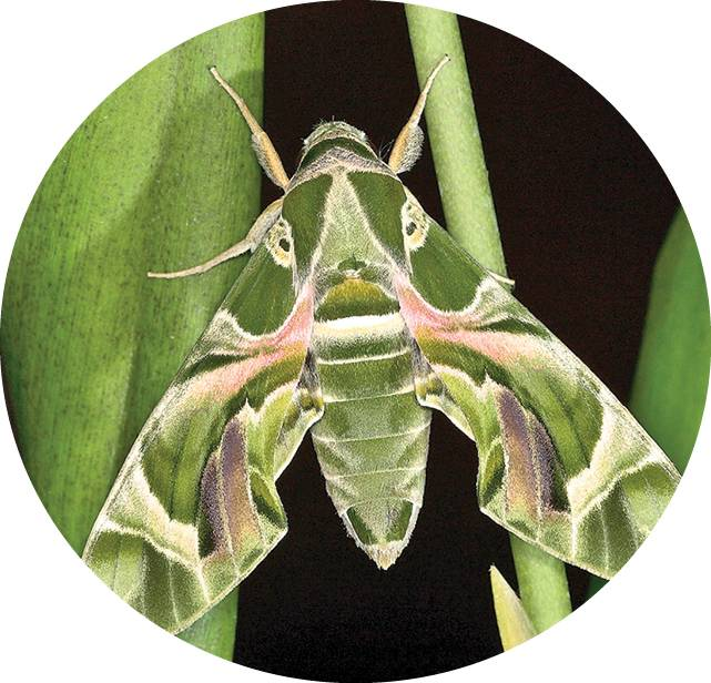 Олеандровый бражник – бабочка, путешествующая между континентами