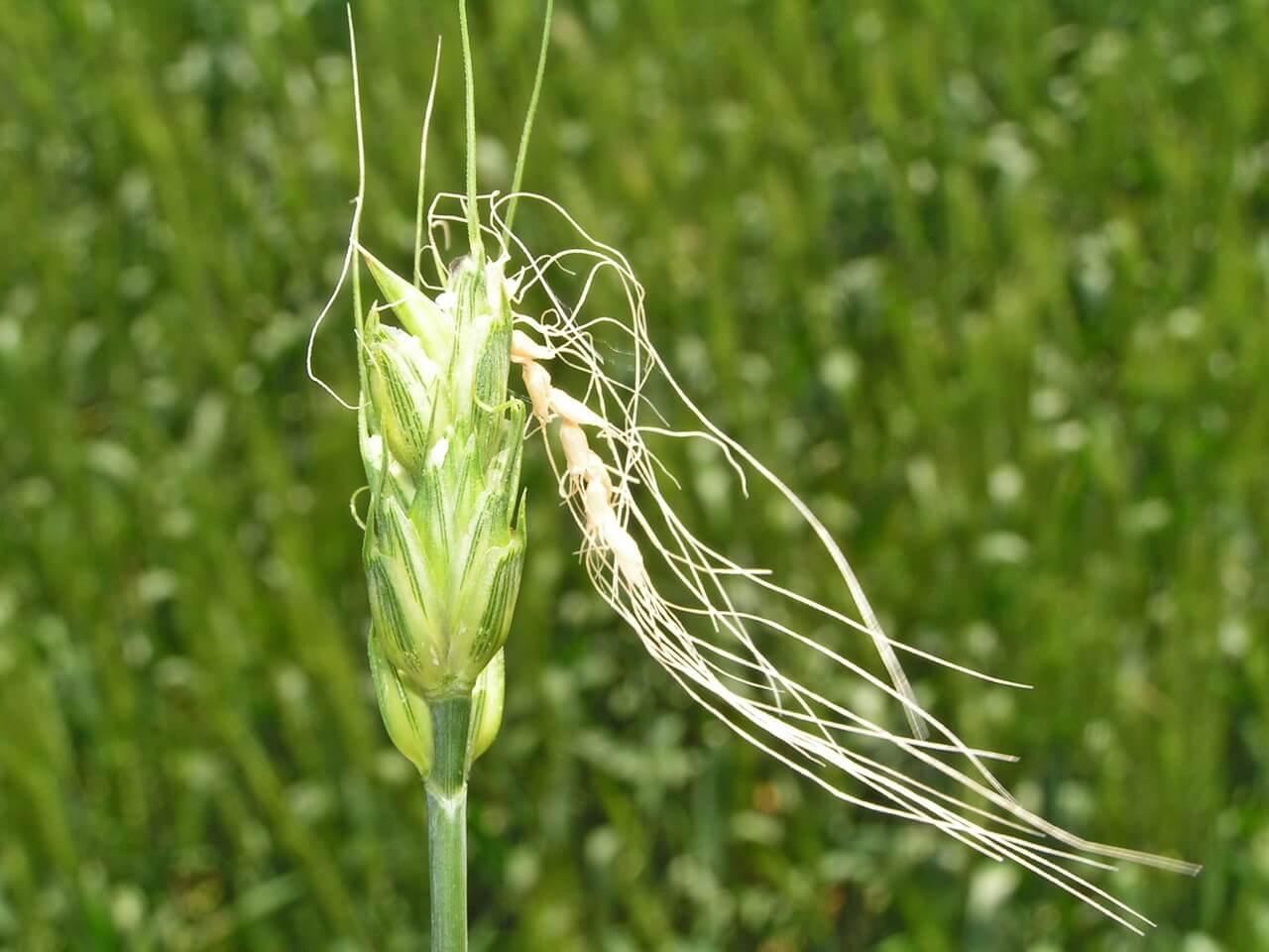 Трипсы на комнатных растениях: наносимый вред, как избавиться от вредителей