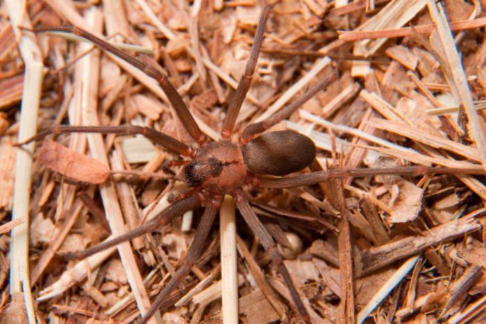 Коричневый паук-отшельник: где встречается, чем опасен укус, меры предосторожности