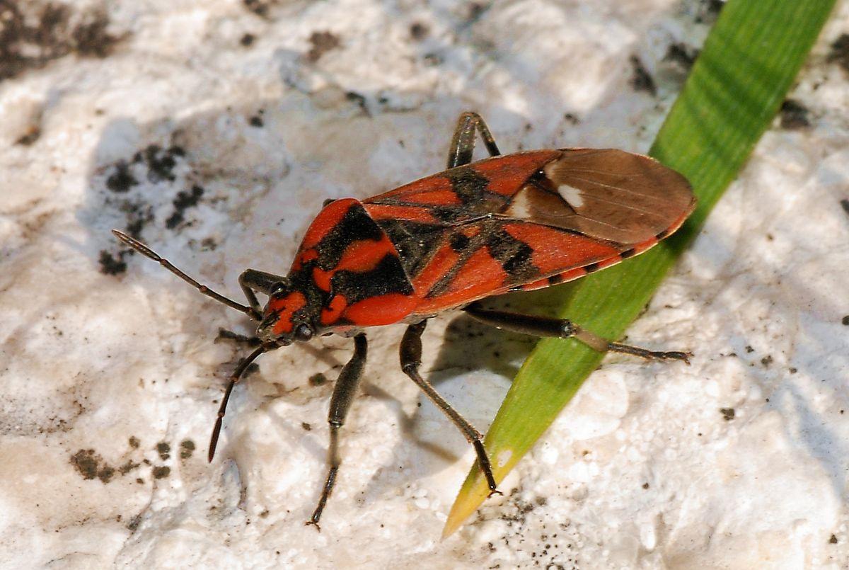 Мраморный клоп насекомое. описание, особенности, виды и способы борьбы с вредителем | живность.ру