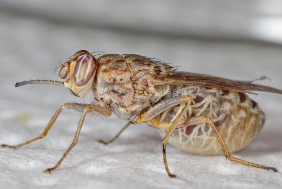Как спастись от мухи цеце. муха цц - переносчик смертельной болезни