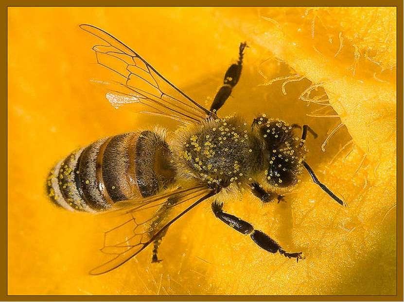 Пчелиный волк или филант - внешний вид, особенности и опасность