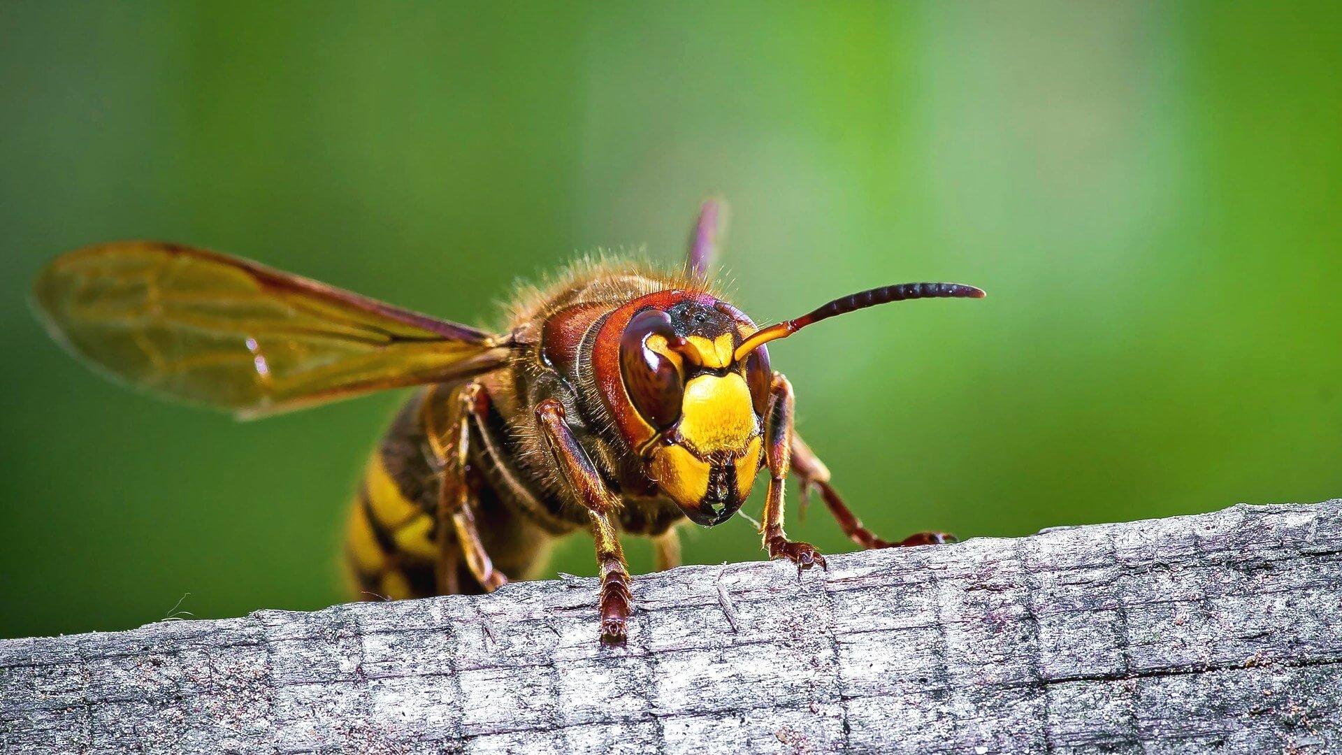 Чем отличаются пчела, шмель, оса и шершень, и кто из них опаснее :: инфониак