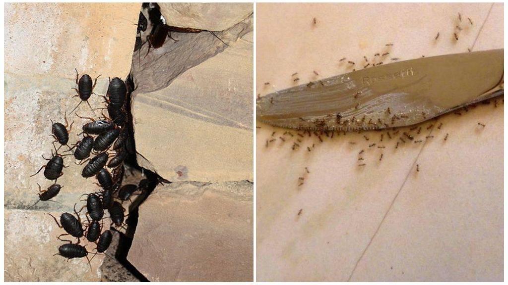 Куда делись тараканы: почему исчезли из квартир и больших городов, описание причин русский фермер