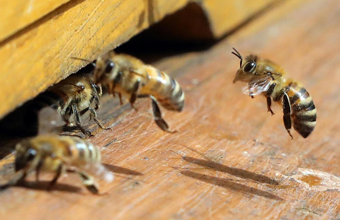 Борьба с пчелиным воровством. пчелиное воровство или напад одной семьи