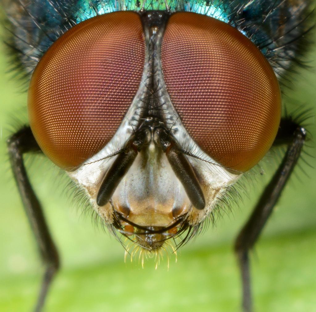 Сколько кадров в секунду видит муха и сколько у неё глаз