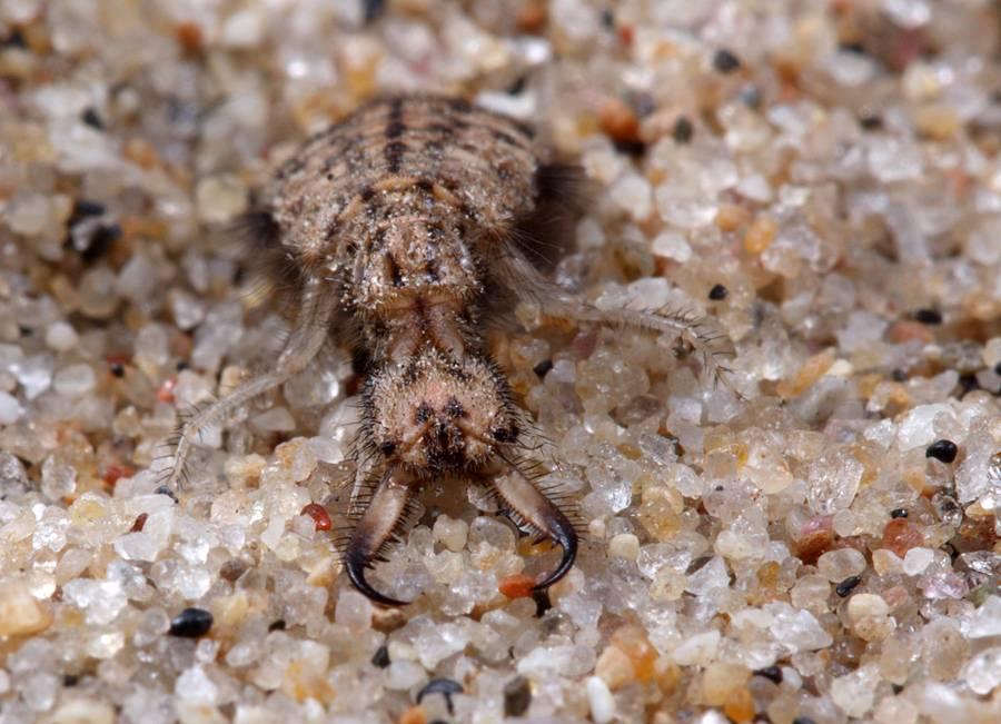 Муравьиный лев обыкновенный – хищник песчаных берегов. муравьиный лев – хищное насекомое