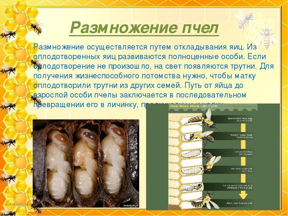 Развитие пчелы по дням: стадии и этапы