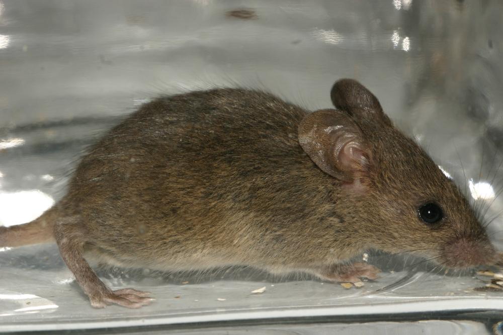 Чем отличается мышь от крысы? / как избавится от насекомых в квартире