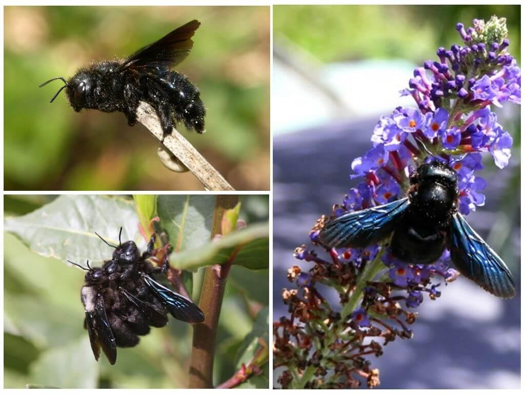 ✅ о черном шмеле: шмель-плотник с синими крыльями, укус фиолетового шмеля - tehnomir32.ru