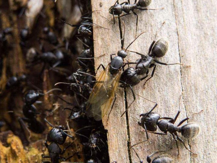 Муравьи древоточцы: описание, размножение и способы борьбы