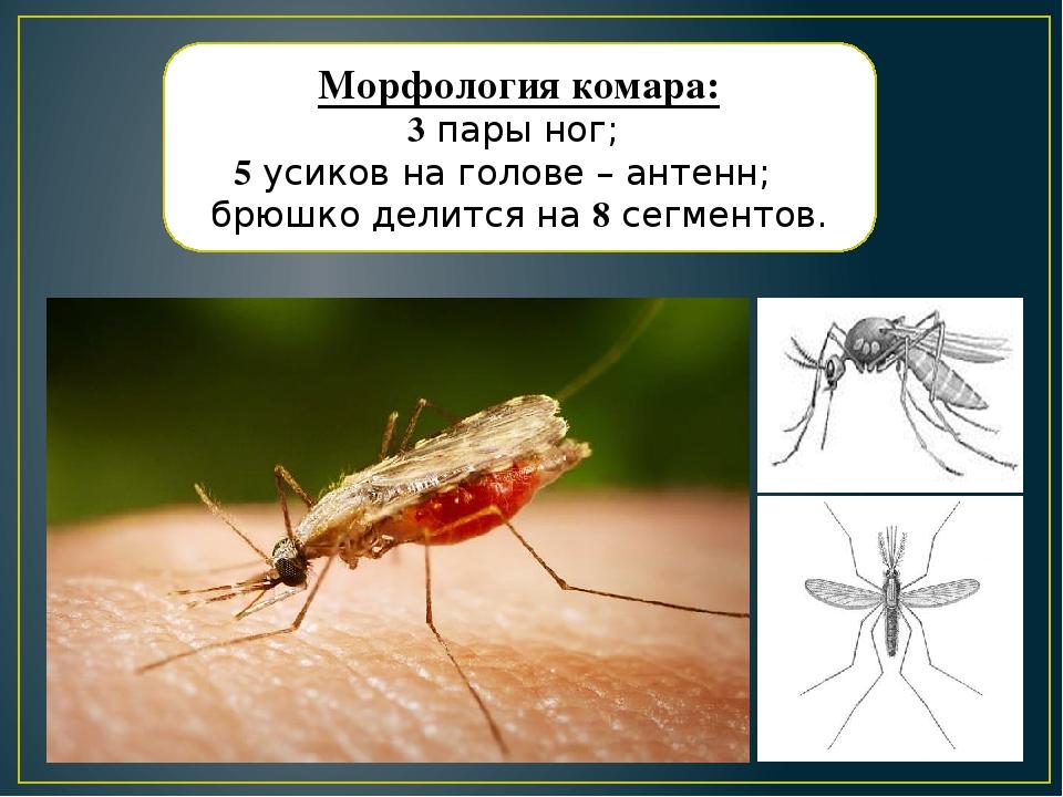 Личинки комаров: как превращаются в куколки и что потом, где происходит развитие?