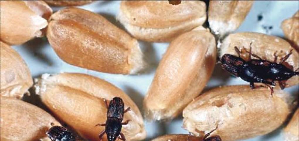 Хлебный точильщик: настоящая напасть для продуктов